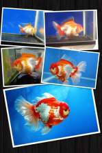Grand champion goldfish _ tom-tom-3.jpg