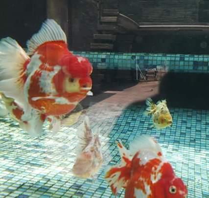 Grand champion goldfish _ tom-tom-2.jpg