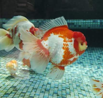 Grand champion goldfish _ tom-tom-1.jpg