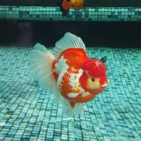 Grand champion goldfish _ tom-tom.jpg