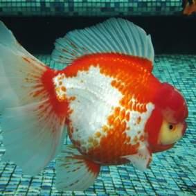 Grand champion goldfish _ tom-tom-6.jpg