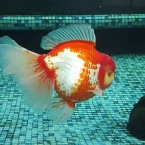 Grand champion goldfish _ tom-tom-7.jpg
