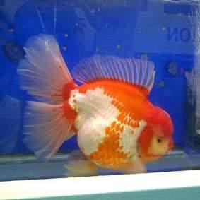 Grand champion goldfish _ tom-tom-4.jpg