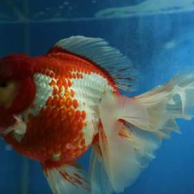 Grand champion goldfish _ tom-tom-5.jpg