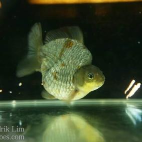 Ikan koki kontes cibinong 2015-58.jpg