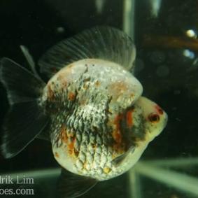Ikan koki kontes cibinong 2015-54.jpg