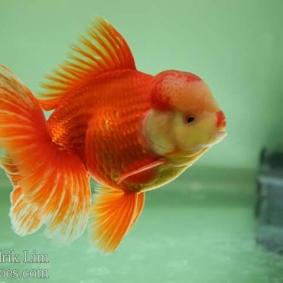 Ikan koki kontes cibinong 2015-107.jpg
