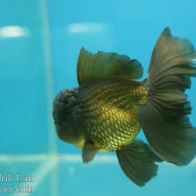 Ikan koki kontes cibinong 2015-84.jpg