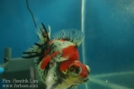 Ikan koki kontes cibinong 2015-64.jpg