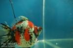 Ikan koki kontes cibinong 2015-65.jpg