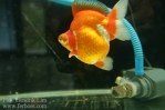 Ikan koki kontes cibinong 2015-85.jpg