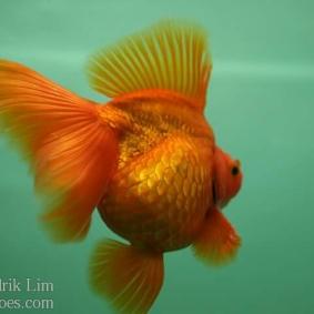 Ikan koki kontes cibinong 2015-6.jpg