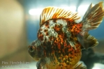 Ikan koki kontes cibinong 2015-22.jpg