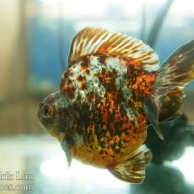 Ikan koki kontes cibinong 2015-20.jpg