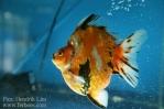 Ikan koki kontes cibinong 2015-18.jpg