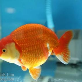 Ikan koki kontes cibinong 2015-35.jpg