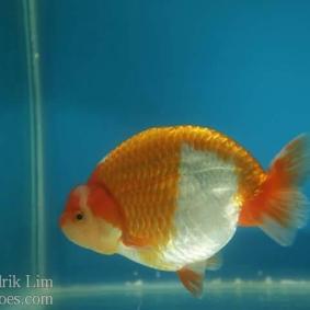 Ikan koki kontes cibinong 2015-37.jpg