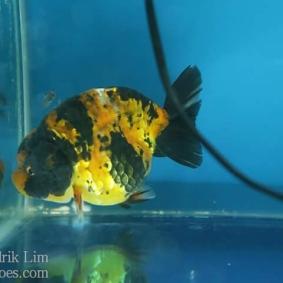 Ikan koki kontes cibinong 2015-100.jpg