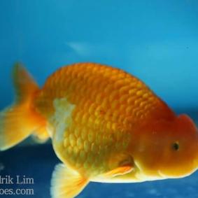 Ikan koki kontes cibinong 2015-42.jpg