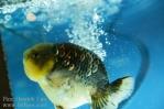 Ikan koki kontes cibinong 2015-110.jpg
