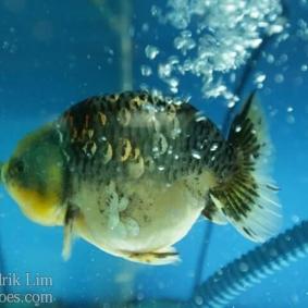 Ikan koki kontes cibinong 2015-44.jpg