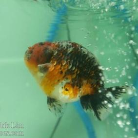 Ikan koki kontes cibinong 2015-43.jpg