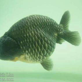 Ikan koki kontes cibinong 2015-12.jpg