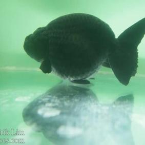 Ikan koki kontes cibinong 2015-5.jpg