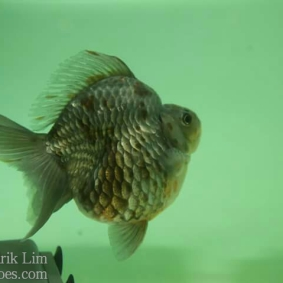 Ikan koki kontes cibinong 2015-96.jpg