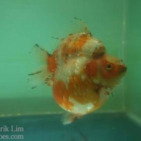 Ikan koki kontes cibinong 2015-27.jpg