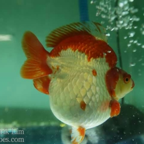 Ikan koki kontes cibinong 2015-26.jpg