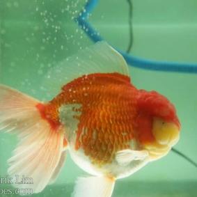 Ikan koki kontes cibinong 2015-24.jpg
