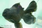Ikan koki kontes cibinong 2015-38.jpg