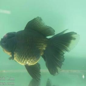 Ikan koki kontes cibinong 2015-41.jpg