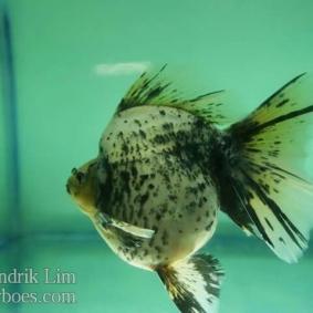 Ikan koki kontes cibinong 2015-46.jpg