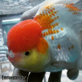 Ikan koki kelas kontes-21.jpg