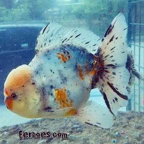 Ikan koki kelas kontes-8.jpg