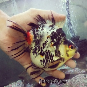 Ikan koki kelas kontes-7.jpg