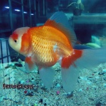 Ikan koki kelas kontes.jpg