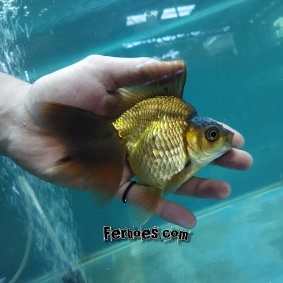 Ikan koki kelas kontes-28.jpg