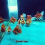 Ikan koki kelas kontes-11.jpg