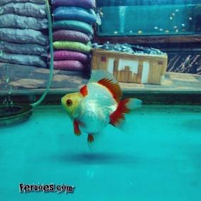 Ikan koki kelas kontes-6.jpg