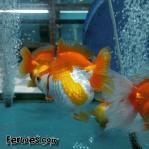 Ikan koki kelas kontes-4.jpg