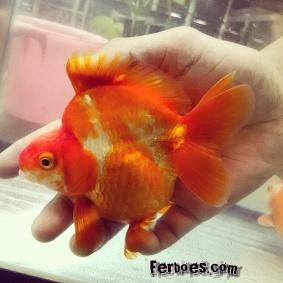 Ikan koki kelas kontes-24.jpg
