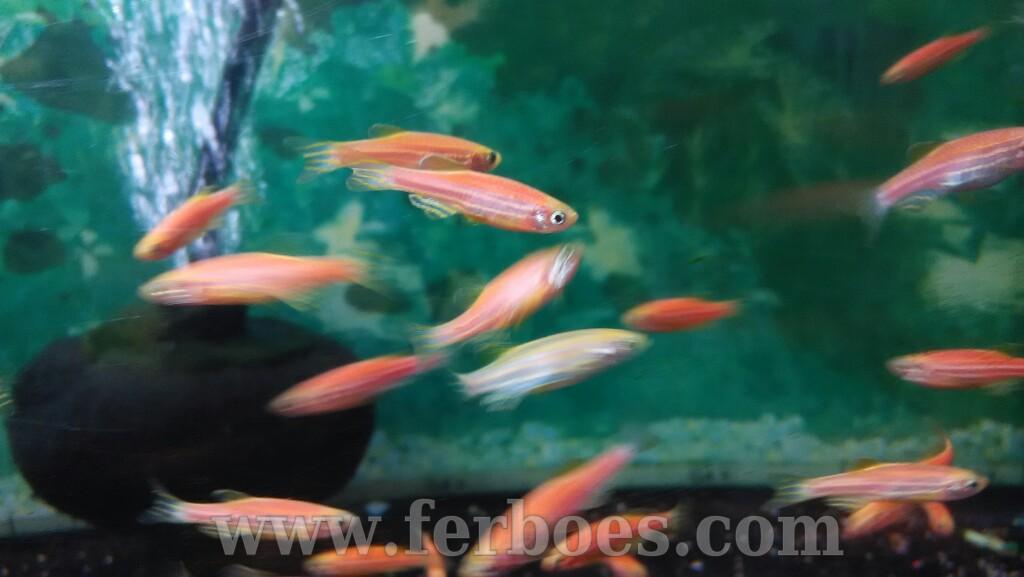 Ikan Pink Danio Biasa Disebut Red Zebra Ferboes Com