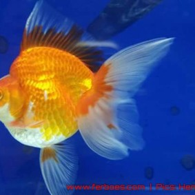 Goldfish aquarama 2015-03.jpg