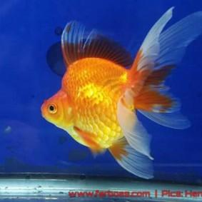 Goldfish aquarama 2015-04.jpg
