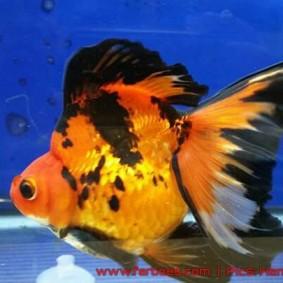 Goldfish aquarama 2015-07.jpg