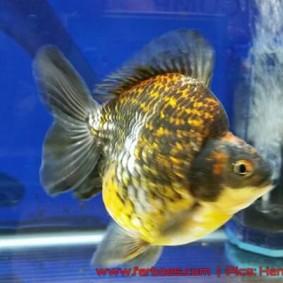 Goldfish aquarama 2015-06.jpg