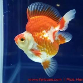 Goldfish aquarama 2015-05.jpg